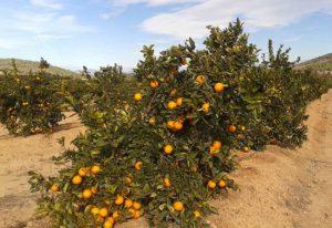 Campo cultivo narajas en Valencia Orange Blog