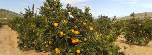 Campos de cultivo e historia de la naranja