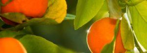 Naranja de calidad en asociación Naranja de Valencia