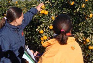 Técnicos IGP inspecionan campo de naranjas